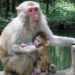 Monkey mothering